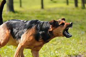 chiens_dressage_agressivité_aboiement